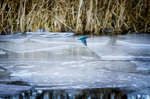 Image of a kingfisher in flight above a frozen canal in winter